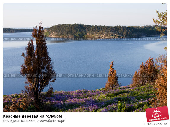 Купить «Красные деревья на голубом», фото № 283165, снято 3 июня 2007 г. (c) Андрей Пашкевич / Фотобанк Лори