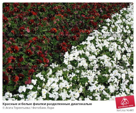 Красные и белые фиалки разделенные диагональю, фото № 4441, снято 21 мая 2006 г. (c) Агата Терентьева / Фотобанк Лори