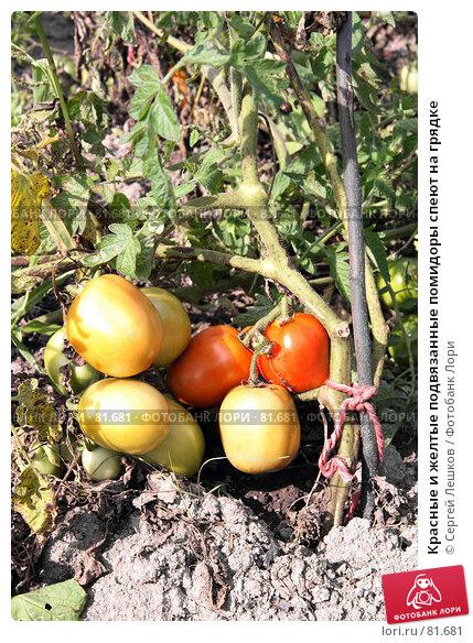 Купить «Красные и желтые подвязанные помидоры спеют на грядке», фото № 81681, снято 15 декабря 2007 г. (c) Сергей Лешков / Фотобанк Лори