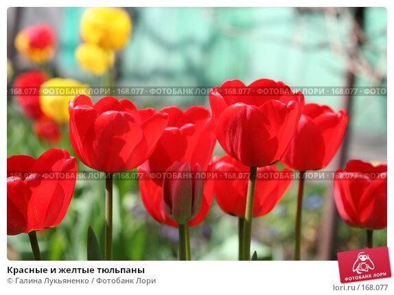 Красные и желтые тюльпаны, фото № 168077, снято 7 мая 2007 г. (c) Галина Лукьяненко / Фотобанк Лори