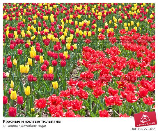 Купить «Красные и желтые тюльпаны», фото № 272633, снято 5 мая 2008 г. (c) Галина Щеглова / Фотобанк Лори