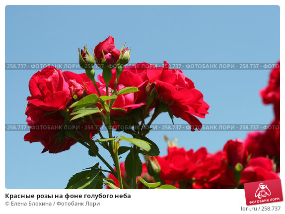 Красные розы на фоне голубого неба, фото № 258737, снято 2 июля 2007 г. (c) Елена Блохина / Фотобанк Лори