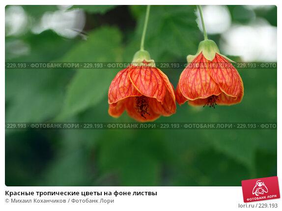 Купить «Красные тропические цветы на фоне листвы», фото № 229193, снято 1 марта 2008 г. (c) Михаил Коханчиков / Фотобанк Лори
