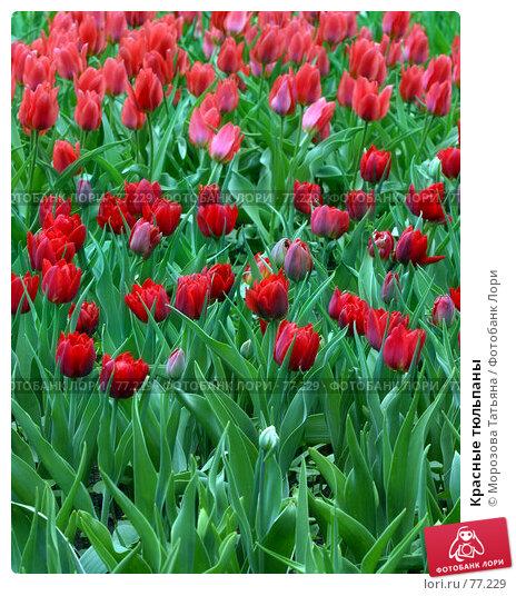 Красные тюльпаны, фото № 77229, снято 7 мая 2006 г. (c) Морозова Татьяна / Фотобанк Лори