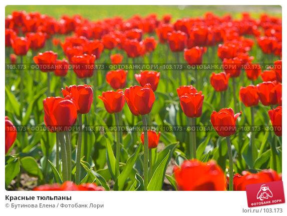 Красные тюльпаны, фото № 103173, снято 21 января 2017 г. (c) Бутинова Елена / Фотобанк Лори