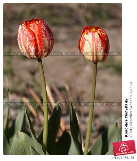 Красные тюльпаны, фото № 135181, снято 31 мая 2006 г. (c) Serg Zastavkin / Фотобанк Лори
