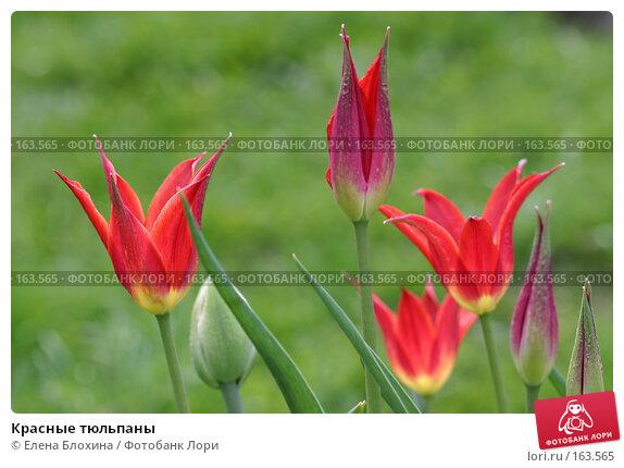 Красные тюльпаны, фото № 163565, снято 14 мая 2007 г. (c) Елена Блохина / Фотобанк Лори