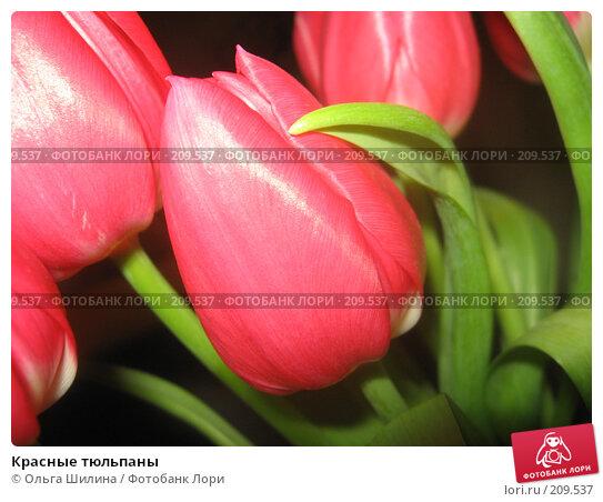 Красные тюльпаны, фото № 209537, снято 15 февраля 2008 г. (c) Ольга Шилина / Фотобанк Лори