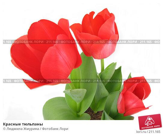 Красные тюльпаны, фото № 211165, снято 24 февраля 2008 г. (c) Людмила Жмурина / Фотобанк Лори