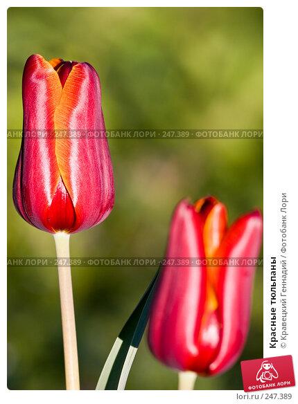 Красные тюльпаны, фото № 247389, снято 8 мая 2005 г. (c) Кравецкий Геннадий / Фотобанк Лори
