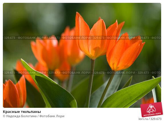 Красные тюльпаны, фото № 329673, снято 24 апреля 2008 г. (c) Надежда Болотина / Фотобанк Лори