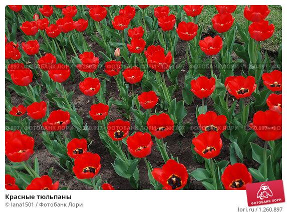 Красные тюльпаны. Стоковое фото, фотограф lana1501 / Фотобанк Лори