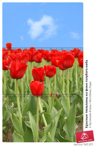 Красные тюльпаны на фоне голубого неба, фото № 167317, снято 22 мая 2007 г. (c) Бутинова Елена / Фотобанк Лори