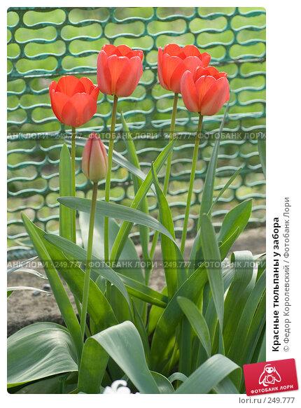 Красные тюльпаны у забора, фото № 249777, снято 11 апреля 2008 г. (c) Федор Королевский / Фотобанк Лори
