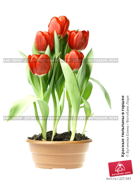 Красные тюльпаны в горшке, фото № 227041, снято 19 марта 2008 г. (c) Бутинова Елена / Фотобанк Лори