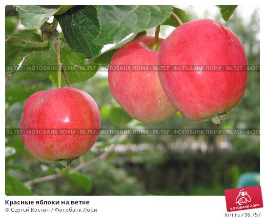 Красные яблоки на ветке, фото № 96757, снято 5 сентября 2007 г. (c) Сергей Костин / Фотобанк Лори