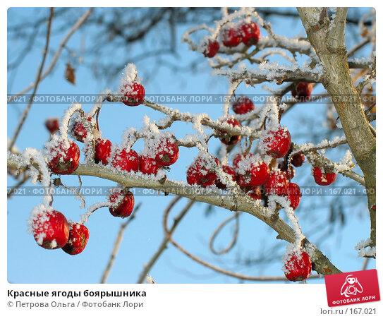 Красные ягоды боярышника, фото № 167021, снято 5 января 2008 г. (c) Петрова Ольга / Фотобанк Лори