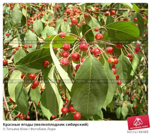 Красные ягоды (мелкоплодник сибирский), эксклюзивное фото № 64665, снято 23 июля 2007 г. (c) Татьяна Юни / Фотобанк Лори