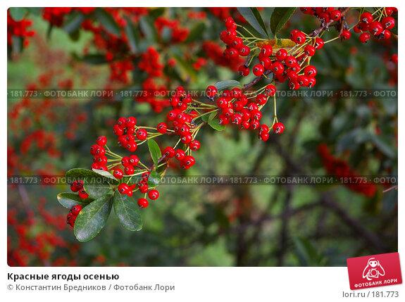 Красные ягоды осенью, фото № 181773, снято 15 октября 2006 г. (c) Константин Бредников / Фотобанк Лори
