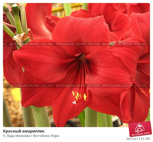 Красный амариллис, фото № 111741, снято 10 апреля 2007 г. (c) Лада Иванова / Фотобанк Лори