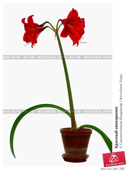 Красный аммарилис, фото № 241745, снято 19 февраля 2008 г. (c) Саломатников Владимир / Фотобанк Лори