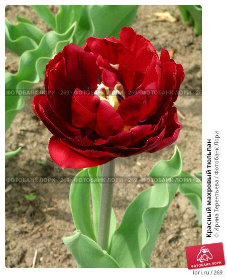 Купить «Красный махровый тюльпан», эксклюзивное фото № 269, снято 11 мая 2004 г. (c) Ирина Терентьева / Фотобанк Лори