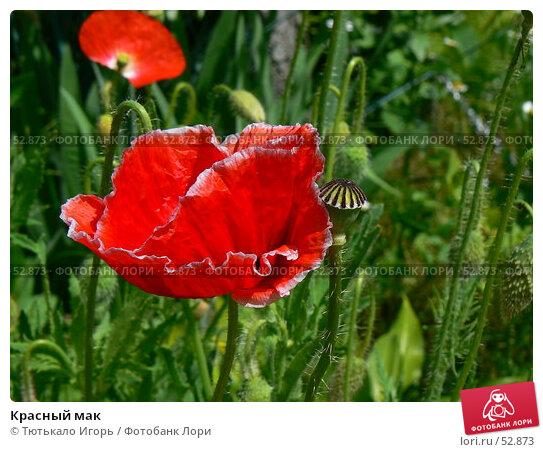 Красный мак, фото № 52873, снято 6 июня 2007 г. (c) Тютькало Игорь / Фотобанк Лори