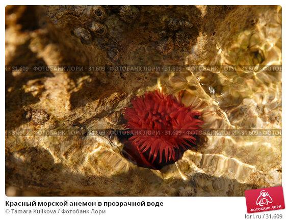 Красный морской анемон в прозрачной воде, фото № 31609, снято 7 апреля 2007 г. (c) Tamara Kulikova / Фотобанк Лори