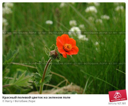 Красный полевой цветок на зеленом поле, фото № 67181, снято 26 июня 2004 г. (c) Harry / Фотобанк Лори