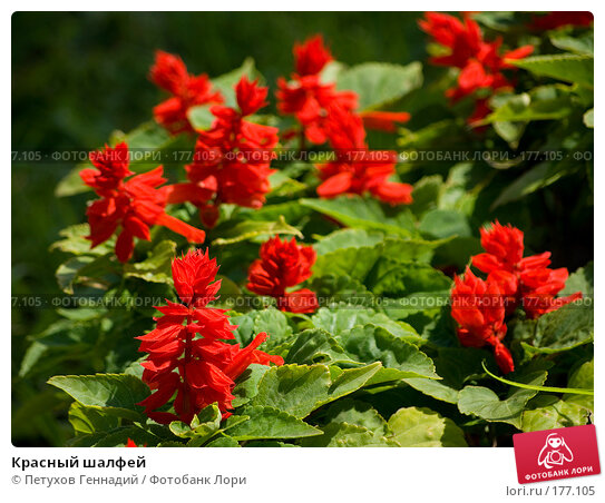 Красный шалфей, фото № 177105, снято 30 июня 2007 г. (c) Петухов Геннадий / Фотобанк Лори