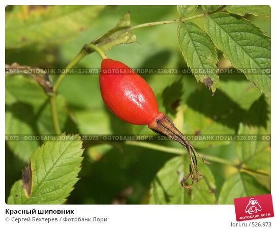 Купить «Красный шиповник», фото № 526973, снято 27 августа 2004 г. (c) Сергей Бехтерев / Фотобанк Лори