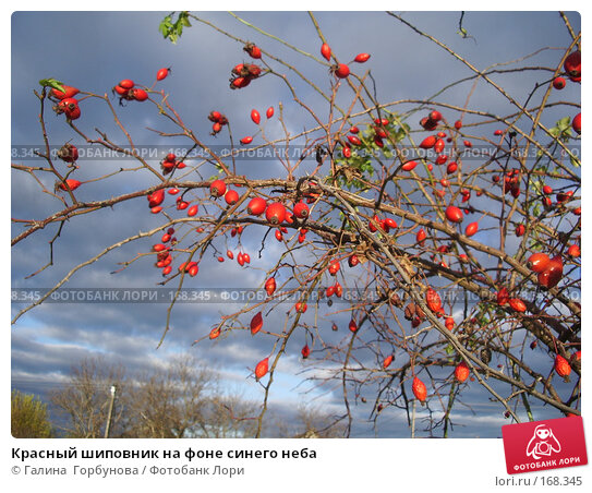 Купить «Красный шиповник на фоне синего неба», фото № 168345, снято 1 ноября 2006 г. (c) Галина  Горбунова / Фотобанк Лори