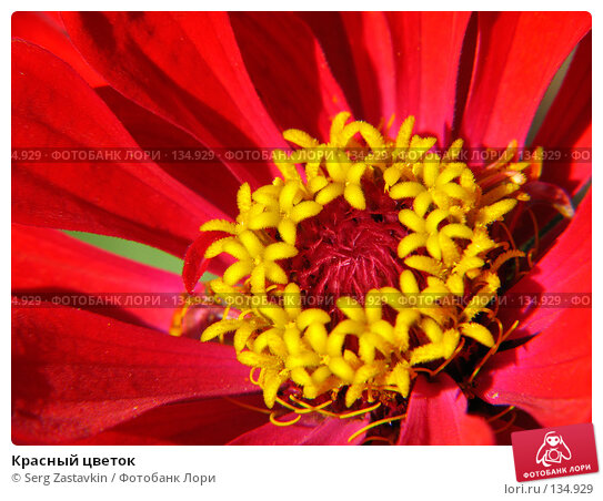 Красный цветок, фото № 134929, снято 14 июля 2005 г. (c) Serg Zastavkin / Фотобанк Лори