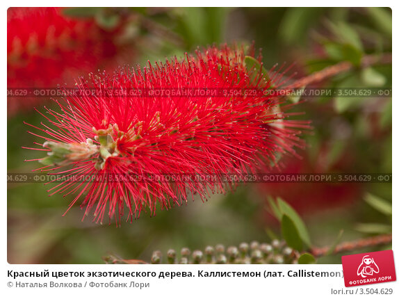 Красный цветок экзотического дерева. Каллистемон (лат ...: http://lori.ru/3504629