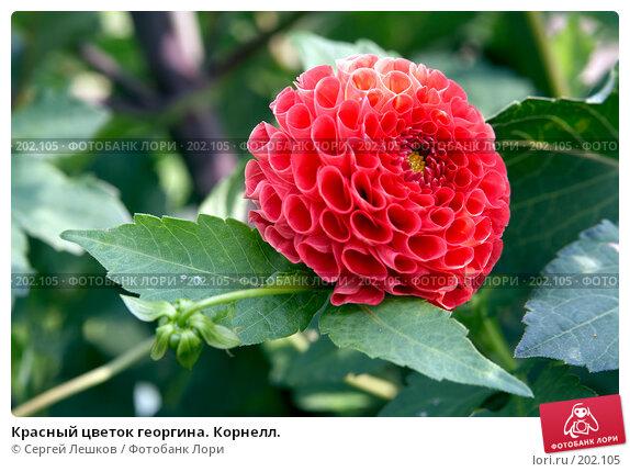 Красный цветок георгина. Корнелл., фото № 202105, снято 15 декабря 2007 г. (c) Сергей Лешков / Фотобанк Лори
