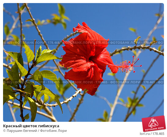 Красный цветок гибискуса, фото № 178465, снято 25 марта 2017 г. (c) Парушин Евгений / Фотобанк Лори
