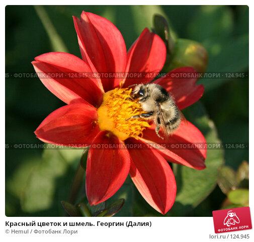 Красный цветок и шмель. Георгин (Далия), фото № 124945, снято 19 августа 2007 г. (c) Hemul / Фотобанк Лори