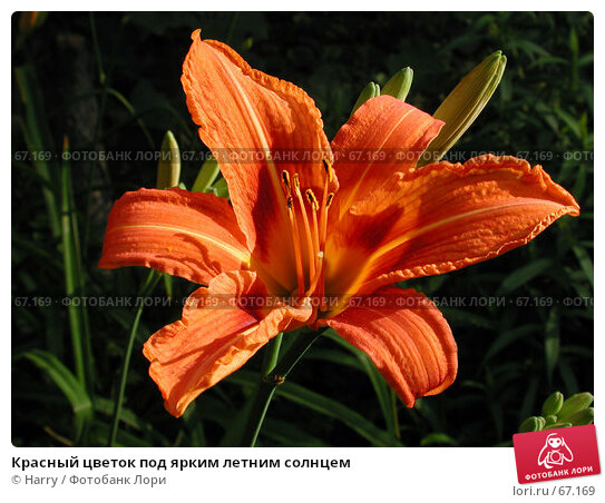 Красный цветок под ярким летним солнцем, фото № 67169, снято 24 июня 2004 г. (c) Harry / Фотобанк Лори
