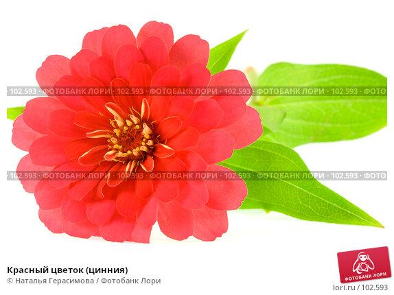 Красный цветок (цинния), фото № 102593, снято 24 октября 2016 г. (c) Наталья Герасимова / Фотобанк Лори