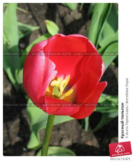 Купить «Красный тюльпан», фото № 4421, снято 21 мая 2006 г. (c) Агата Терентьева / Фотобанк Лори