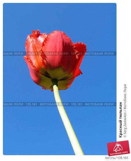 Красный тюльпан, фото № 135161, снято 20 мая 2005 г. (c) Serg Zastavkin / Фотобанк Лори