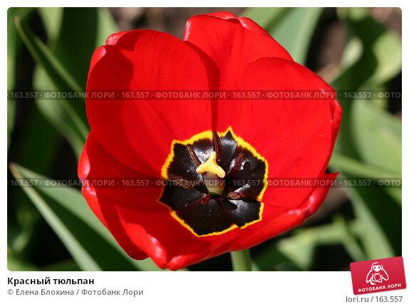 Красный тюльпан, фото № 163557, снято 10 мая 2007 г. (c) Елена Блохина / Фотобанк Лори
