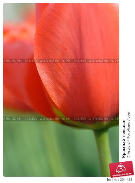 Красный тюльпан, фото № 204433, снято 15 мая 2005 г. (c) Astroid / Фотобанк Лори