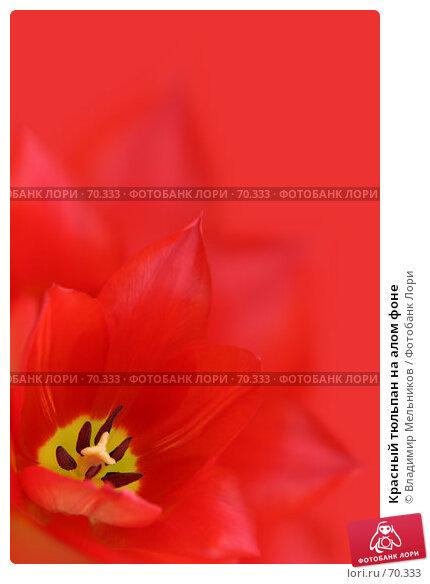 Красный тюльпан на алом фоне, фото № 70333, снято 4 марта 2005 г. (c) Владимир Мельников / Фотобанк Лори