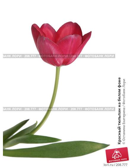 Красный тюльпан на белом фоне, фото № 208777, снято 17 января 2008 г. (c) Останина Екатерина / Фотобанк Лори