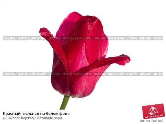 Красный  тюльпан на белом фоне, фото № 308989, снято 31 мая 2008 г. (c) Николай Коржов / Фотобанк Лори