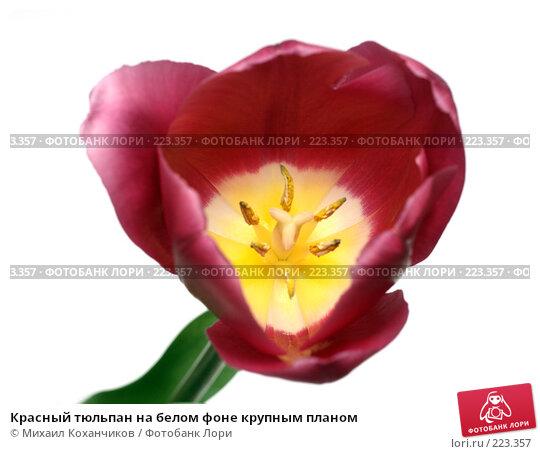 Купить «Красный тюльпан на белом фоне крупным планом», фото № 223357, снято 8 марта 2008 г. (c) Михаил Коханчиков / Фотобанк Лори