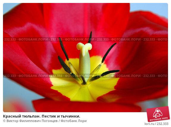 Красный тюльпан. Пестик и тычинки., фото № 232333, снято 26 апреля 2005 г. (c) Виктор Филиппович Погонцев / Фотобанк Лори