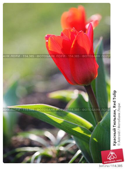 Красный Тюльпан, Red Tulip, фото № 114385, снято 16 апреля 2007 г. (c) Astroid / Фотобанк Лори