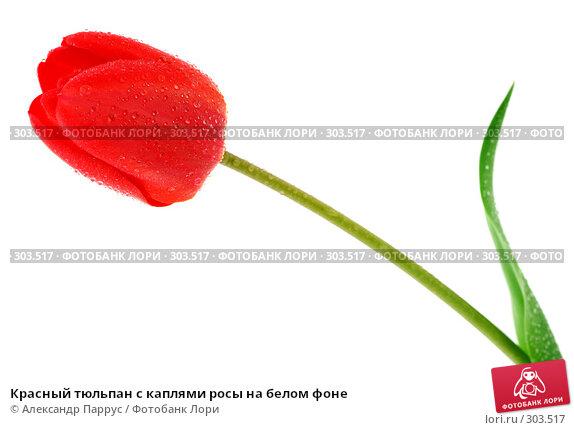 Красный тюльпан с каплями росы на белом фоне, фото № 303517, снято 21 апреля 2008 г. (c) Александр Паррус / Фотобанк Лори